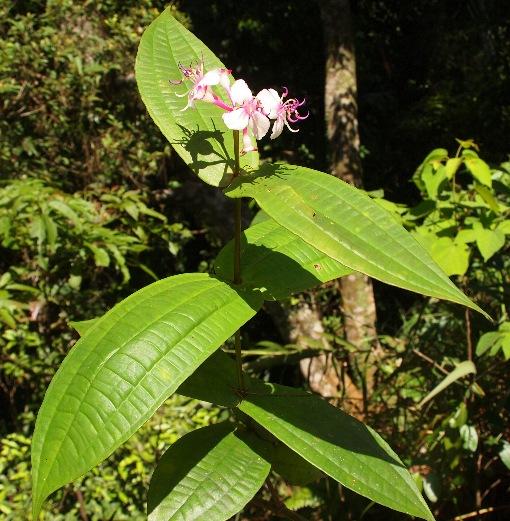 Phyllagathis_sessilifolia