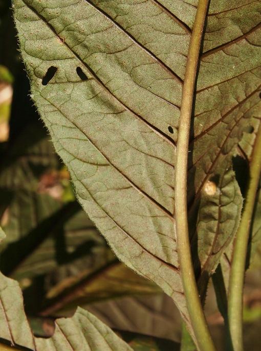 Ardisia_gigantifolia2
