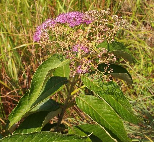 Callicarpa_nudiflora