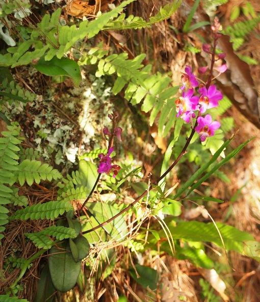 Phalaenopsis_pulcherrima