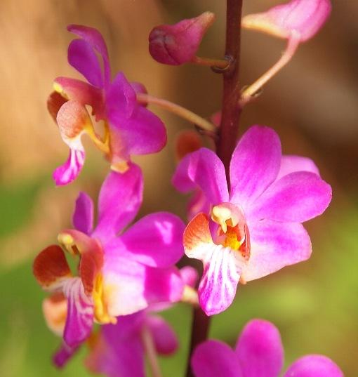 Phalaenopsis_pulcherrima2