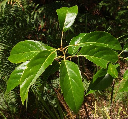 Elaeocarpus_floribundus
