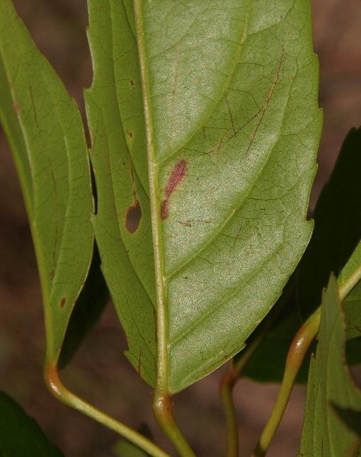 Elaeocarpus_floribundus2