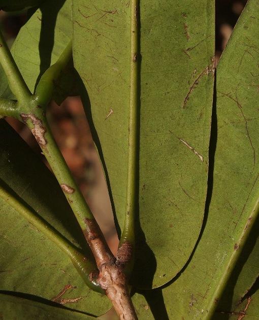 Syzygium_crassifolium2