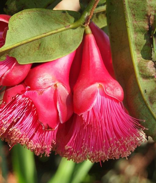 Syzygium_crassifolium3