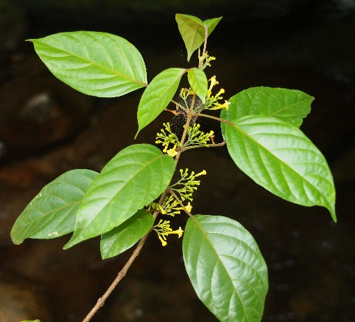 Vitex_axillariflora