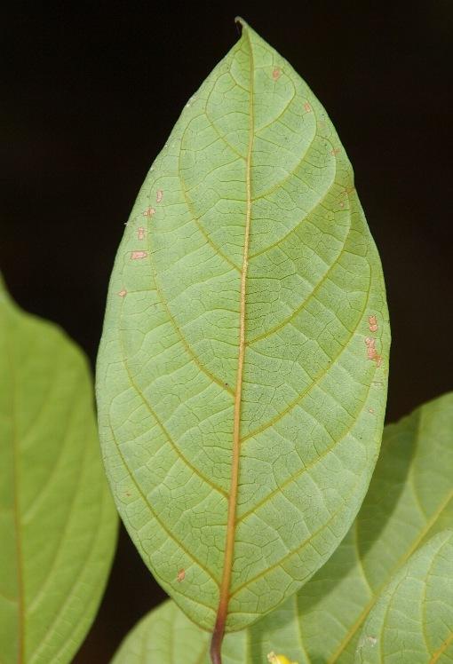 Vitex_axillariflora2