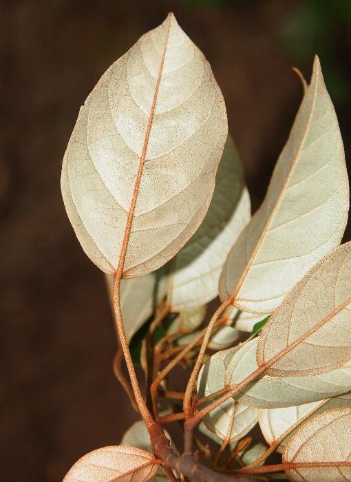 Croton_argyratus2