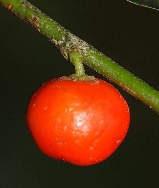 Microdesmis_caseariifolia3