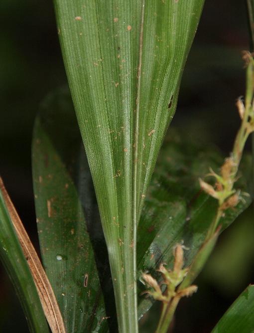 Carex_scaposa2