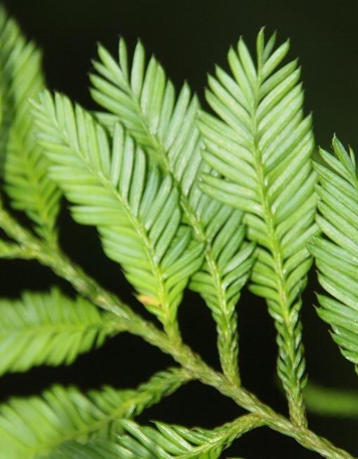Dacrycarpus_imbricatus2