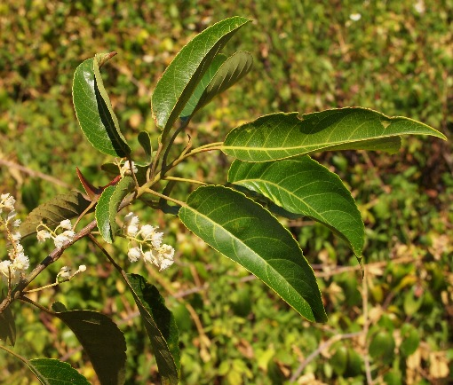 Elaeocarpus_robustus