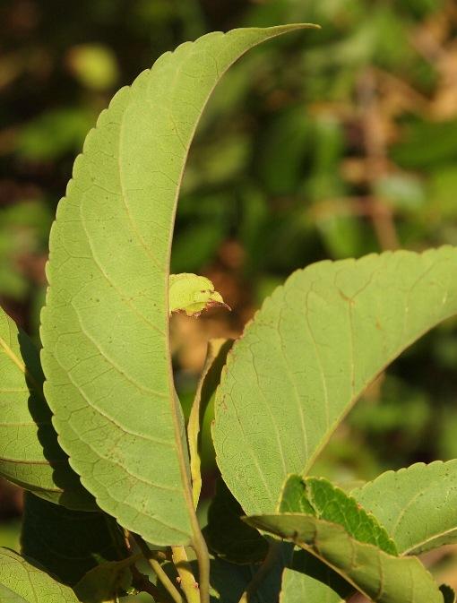 Elaeocarpus_robustus2