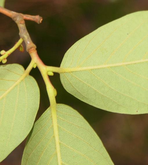 Lyonia_ovalifolia2