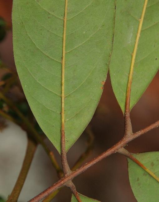 Mischocarpus_pentapetalus2