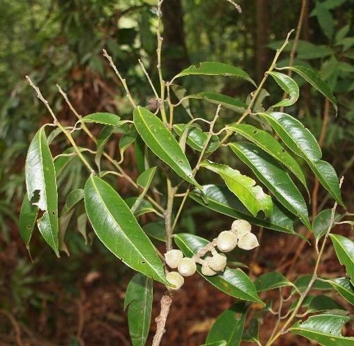 Lithocarpus_reinwardtii