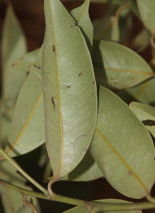 Lithocarpus_reinwardtii2