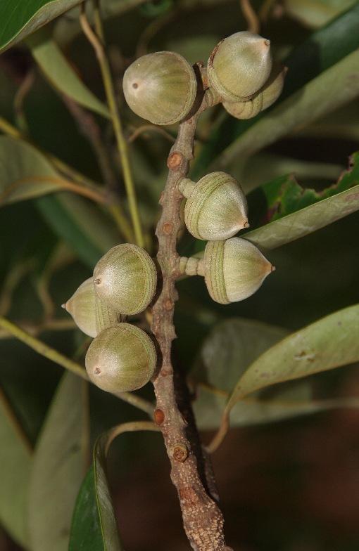 Lithocarpus_reinwardtii3