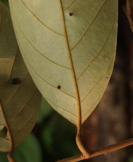 Lithocarpus_urceolaris2