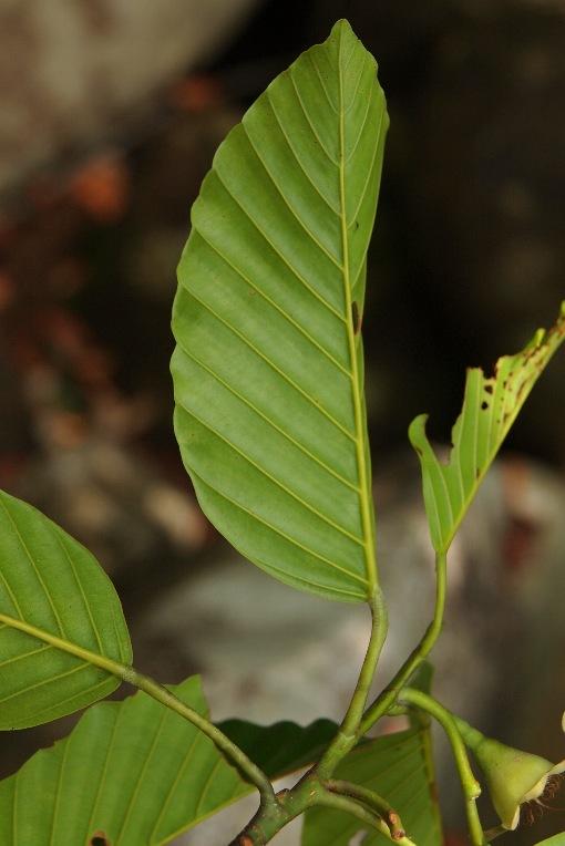 Dipterocarpus_hasseltii2