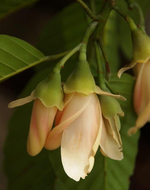 Dipterocarpus_hasseltii3