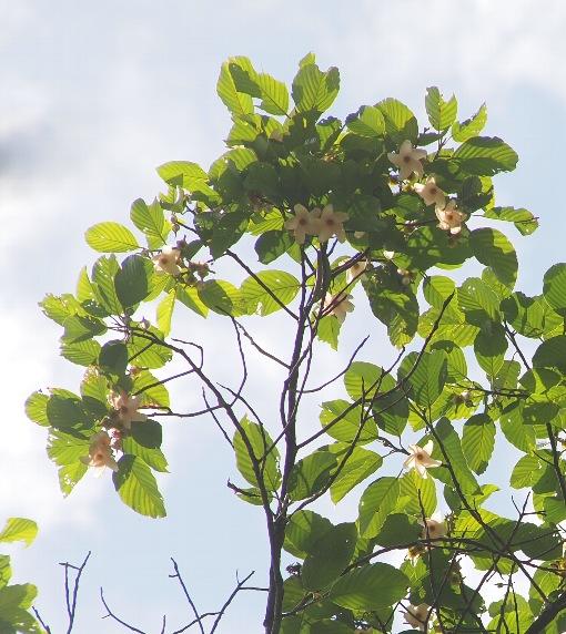 Dipterocarpus_hasseltii5