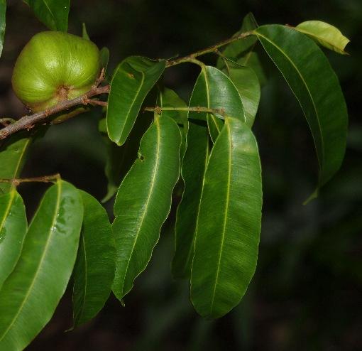 Chrysophyllum_roxburghiana