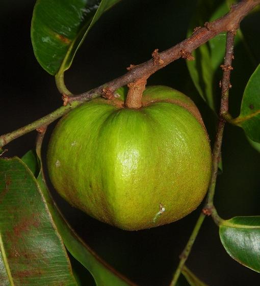 Chrysophyllum_roxburghiana3