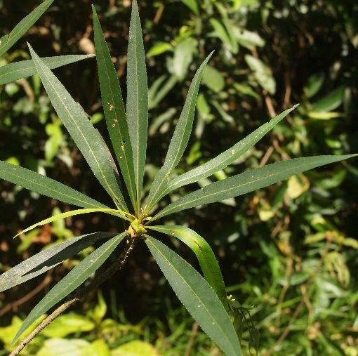 Elaeocarpus_hainanensis
