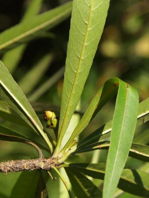 Elaeocarpus_hainanensis2