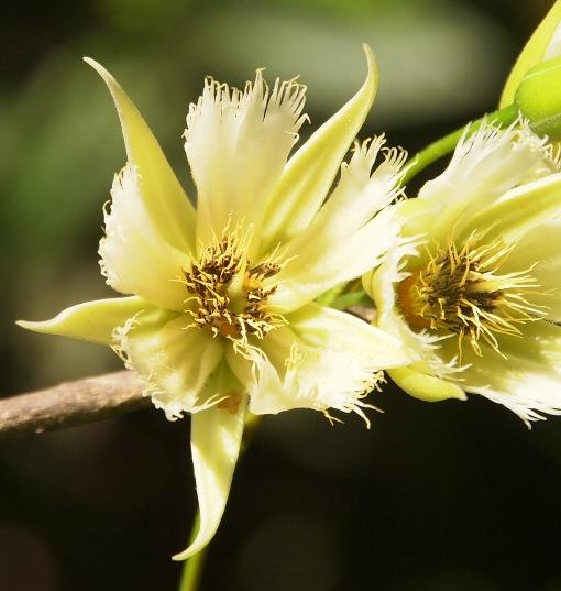 Elaeocarpus_hainanensis4