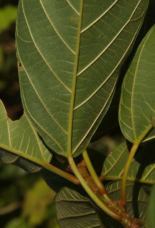 Ficus_lamponga2