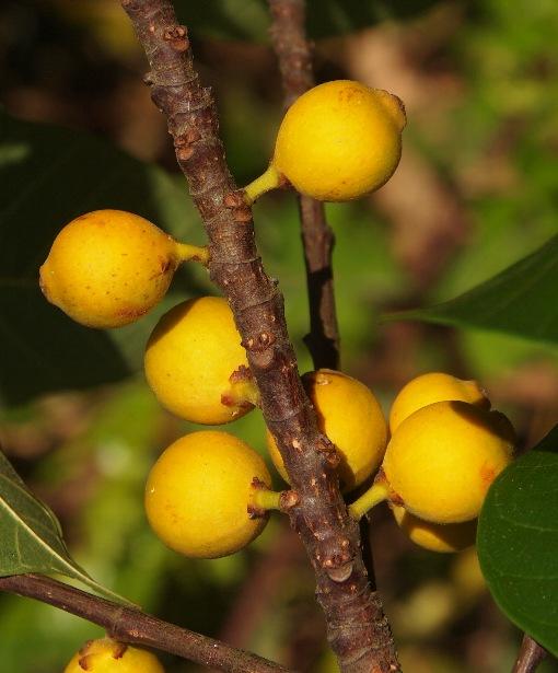 Ficus_lamponga3