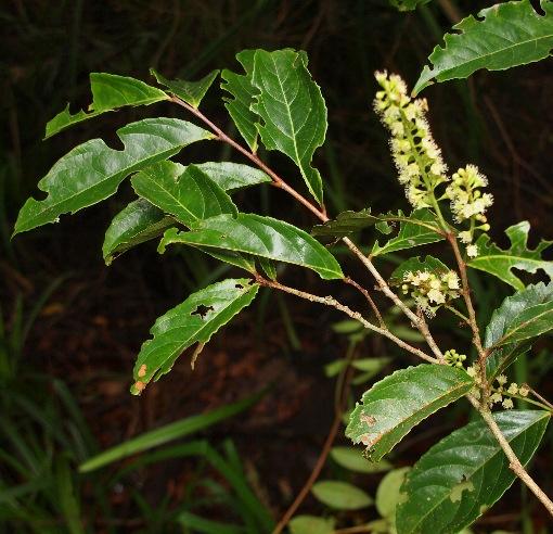 Homalium_caryophyllaceum