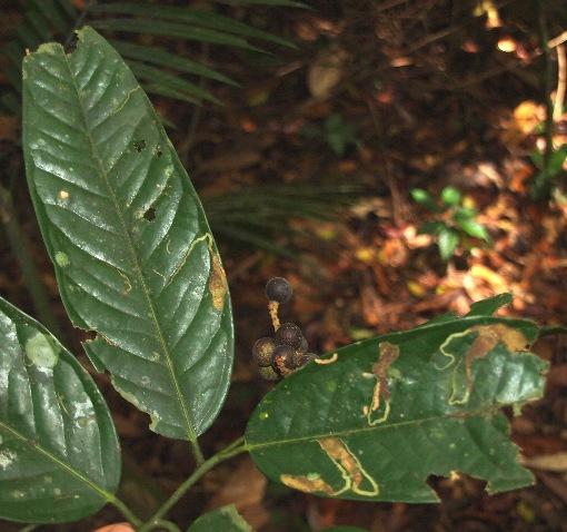 Xanthophyllum_adenotus