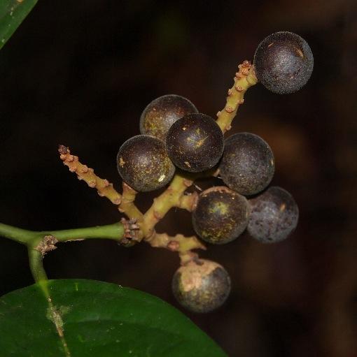 Xanthophyllum_adenotus3