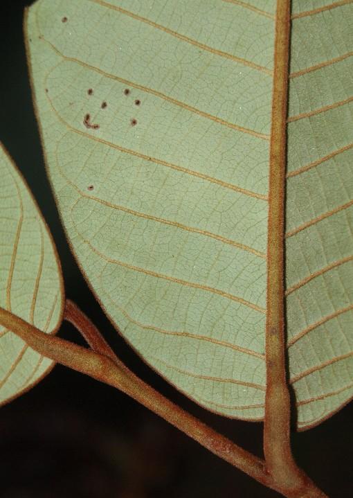Drepananthus_ramuliflorus2