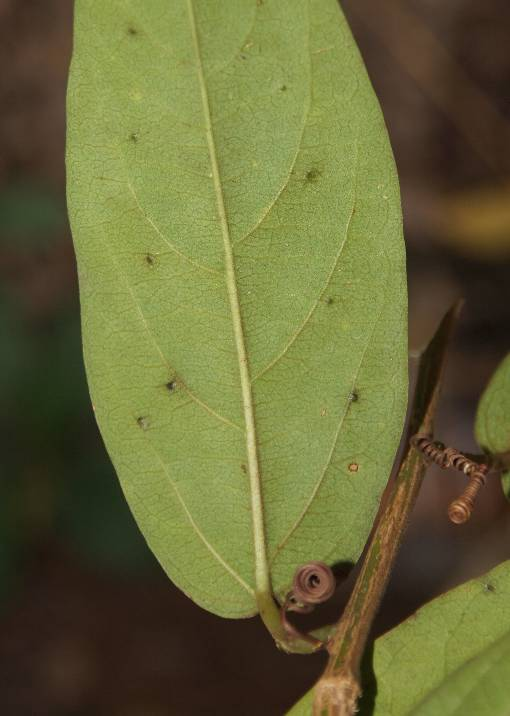 Passiflora_siamica_2