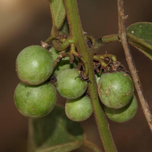 Passiflora_siamica_3