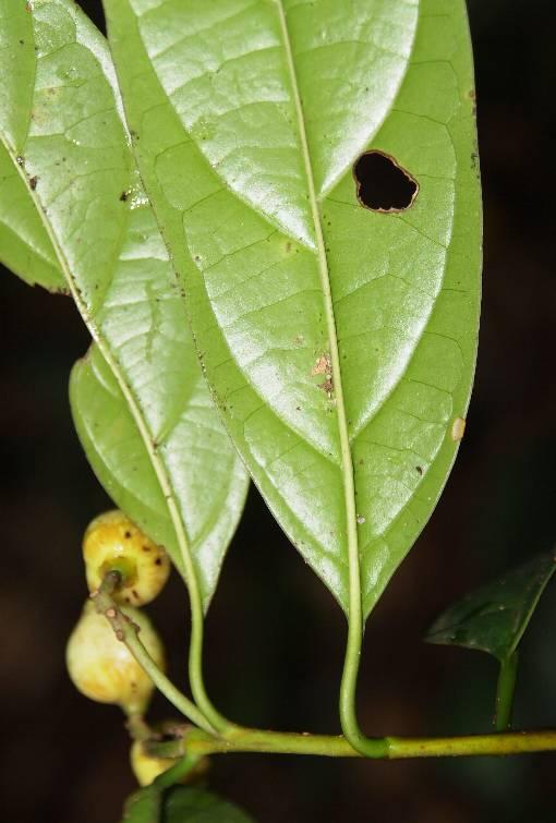 Pittosporopsis_kerrii_2