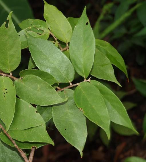 Pterospermum_lanceifolium