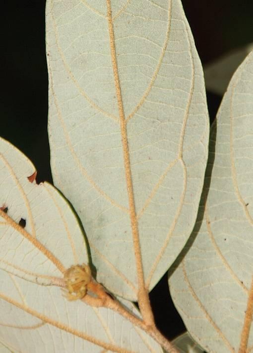 Pterospermum_lanceifolium_2