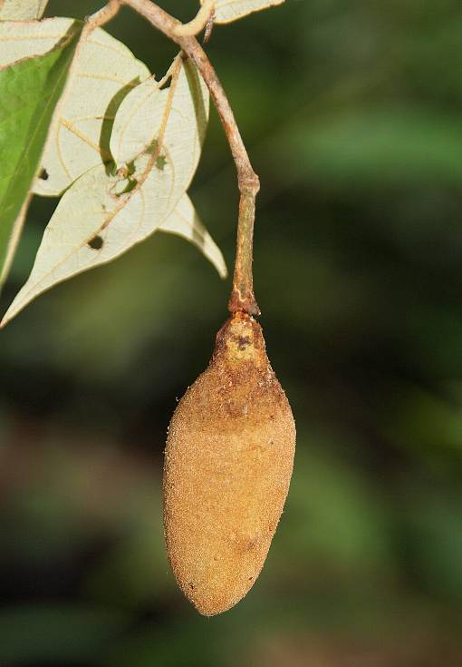 Pterospermum_lanceifolium_3