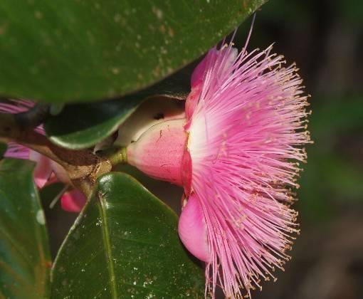 Syzygium_megacarpum3