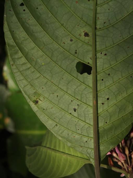 Phlogacanthus_curviflorus2