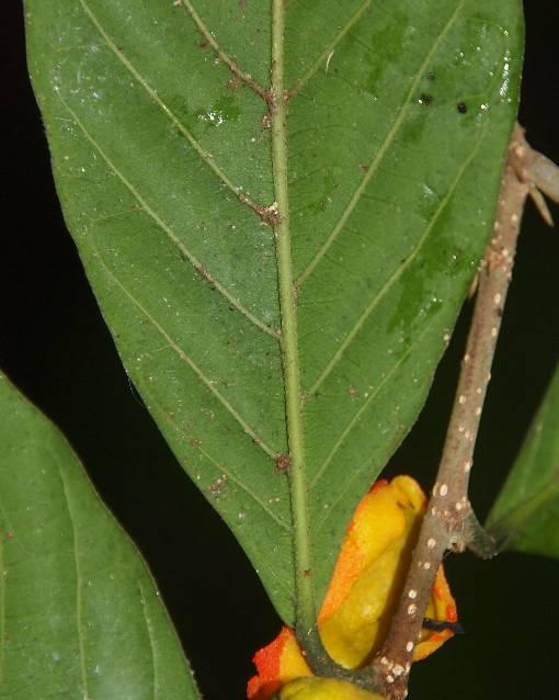 Dichapetalum_gelonioides2