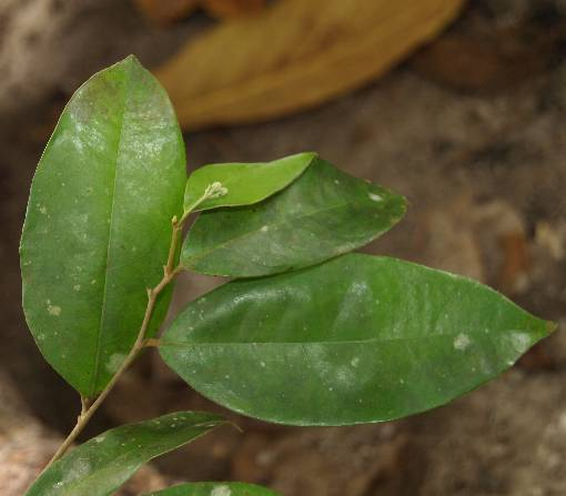 Dichapetalum_helferianum